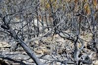 Šuma ugljeniziranog drveća (foto TRIS/G. Šimac)