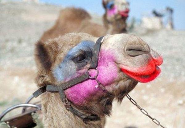 Ilustracija: uljepšana deva na natjecanju u ljepoti deva u Saudijskoj Arabiji (foto Facebook)