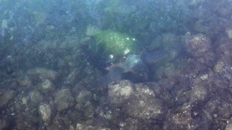 Glavata želva snimljena jutros u moru ispred katedrale na šibenskoj rivi (Foto: Petar Kalauz)