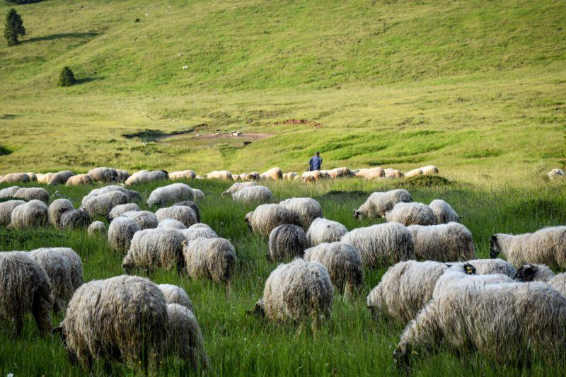 """Dinara – blejanje ovaca umjesto naftnih bušotina: Dinara back to LIFE – projekt zaštite prirode i bioraznolikosti Dinare Udruge Biom i LAG-a""""Cetinska krajina"""""""