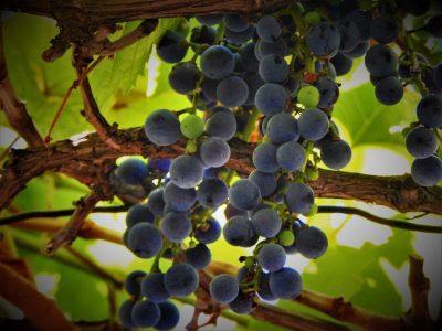 Crno grožđe (foto TRIS/G. Šimac)