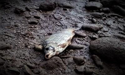 Mrtva riba na obalama Neretve i potoka Sušica (foto Facebook inicijativa Jer nas se tiče)