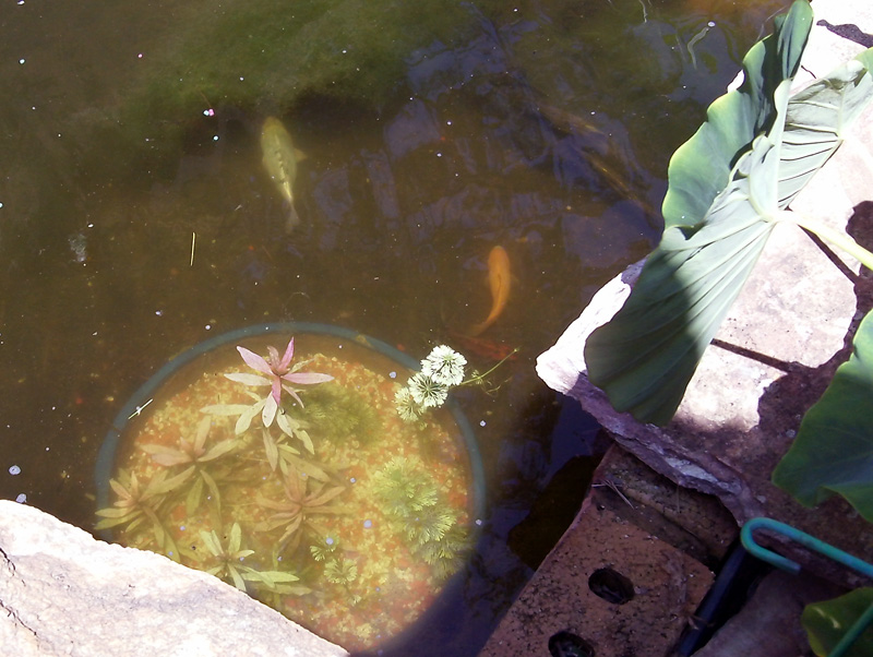 Fish swimming in a fish pond