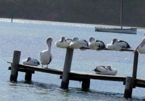 Pelicans at Merimbula