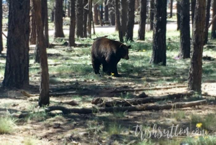 Bearizona Wildlife Park Northern Arizona, TrishSutton.com