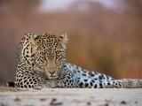 Pause (Hosana, Sabi Sand Game Reserve, South Africa, 2018)