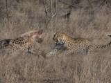 Spotted Showdown (Hosana & Ntima, Sabi Sand Game Reserve, South Africa, 2018)