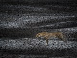 Scorched Earth (Hosana, Sabi Sand Game Reserve, South Africa, 2018)