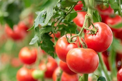 Pourquoi se lancer dans la culture de la tomate en Afrique