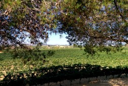 Catalonia-Penedes-Vineyard-Pines-and-Vines