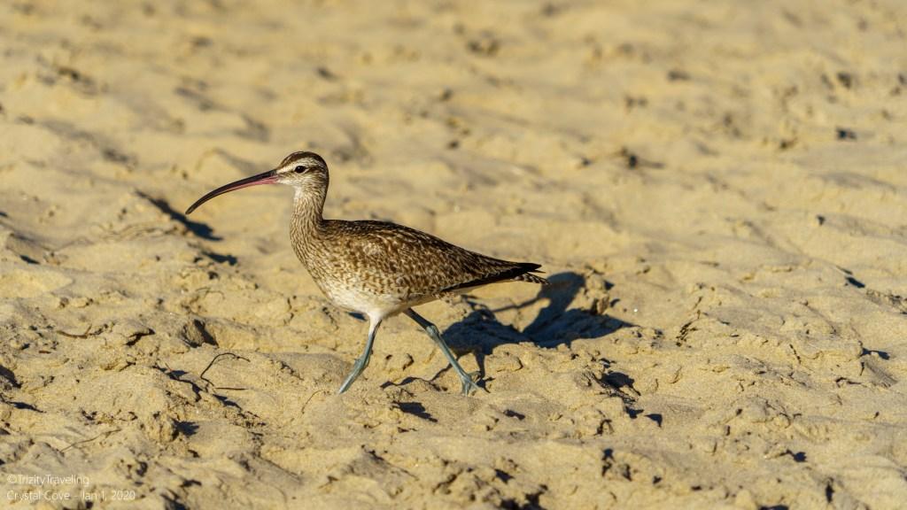 seabird walking on the beach
