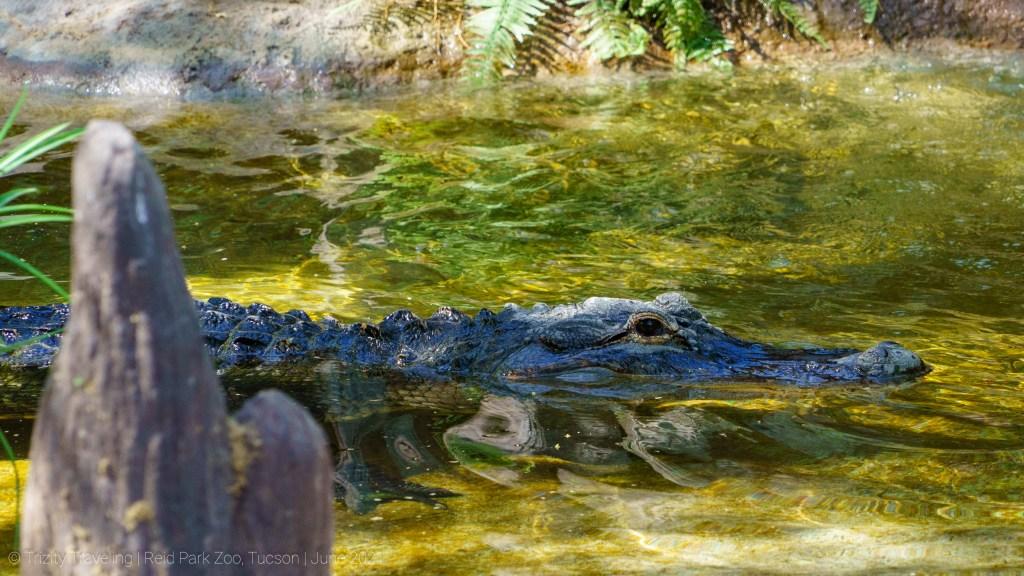 alligator Reid park zoo