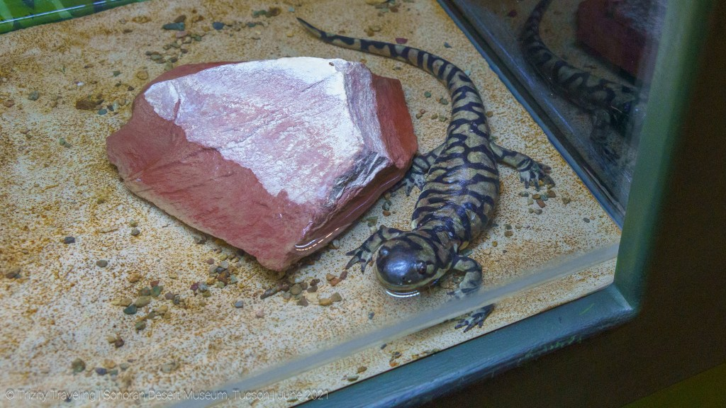 Salamander exhibit