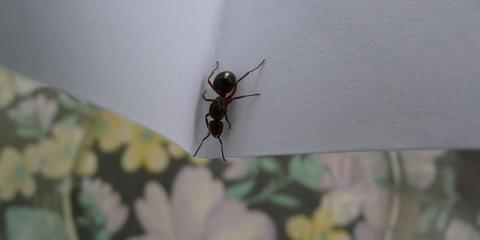 Black Garden Ant Tapinoma Sessile Pest Control Ants Vector