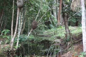 Trocano Araretama Forest 2