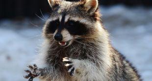 Raccoon diefstal van gegevens programma