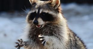 Raccoon datatyveri program