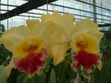 Blc. Golden Zell