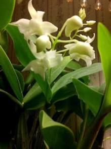 Dendrobium MSF