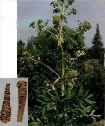 cây bạch chỉ và tác dụng chữa bệnh