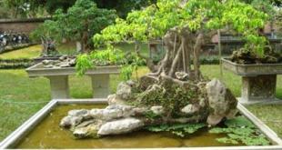 phương pháp nối ghép thường sử dụng trong tạo tác sanh bonsai