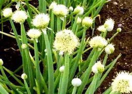 Hành hoa