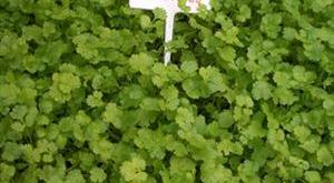 Cây ngò rí - Coriandrum sativum