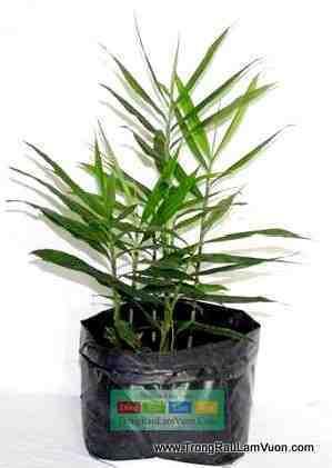 Hướng dẫn cách trồng gừng tại nhà