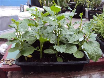 Hướng dẫn cách trồng rau mồng tơi tại nhà