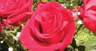 hoa hồng