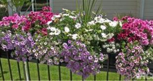 Dã yên thảo trồng thành bồn làm nổi bật vẻ đẹp của ngôi nhà