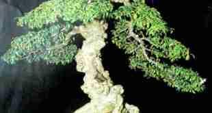 Xây dựng tác phẩm Bonsai