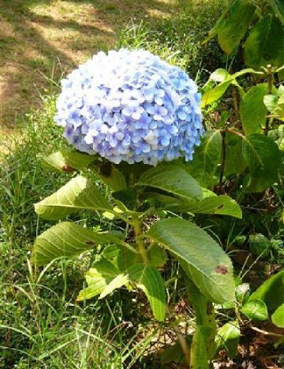 Hoa màu tím - cẩm tú cầu