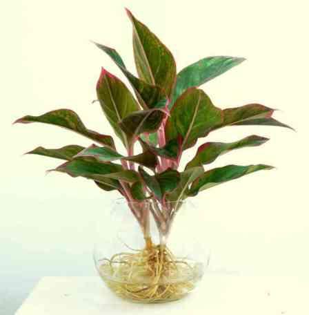 Cây Phú quý trồng trong nước