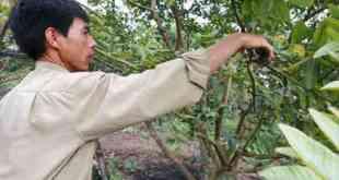 xén và tỉa cành cây ăn trái
