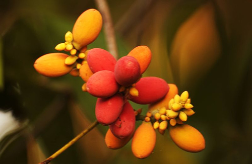 cách gây trồng lá bép