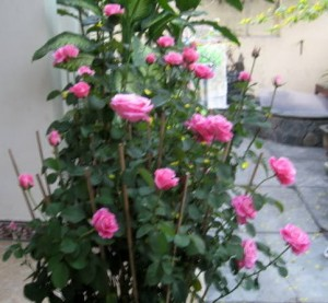 chăm sóc hoa hồng sau khi chơi Tết