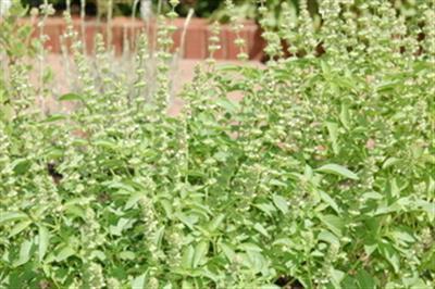 Các loài rau hoa lá thơm mùi hương chanh