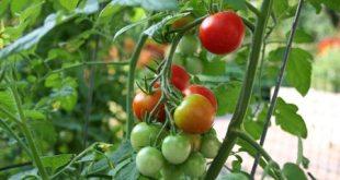 Hướng dẫn cách ghép cà chua trên gốc cà tím