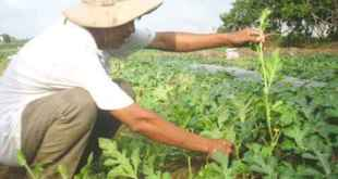 Những điều cần biết khi trồng dưa hấu