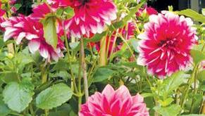 Hướng dẫn cách trồng hoa thược dược – P2