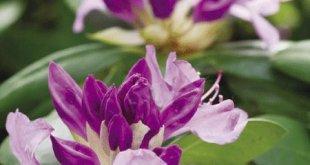 Hoa đỗ quyên rất đẹp nhưng cũng độc không kém nên chỉ thưởng thức nhìn chứ đừng dại ăn vào