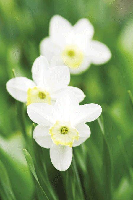 Đúng như tên gọi hoa cà độc dược hẳn cũng chứa độc dược