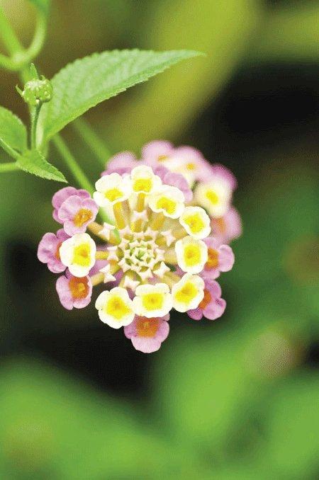 Hoa trâm mỏi, thơm ổi hay còn gọi là hoa cứt lợn