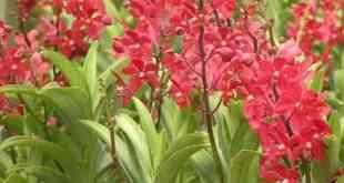 Cách chọn giống hoa lan Mokara