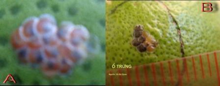 Trứng sâu đục trái bưởi. (A): Trứng chuẩn bị nỡ; (B): Trứng bị ong mắt đỏ ký sinh