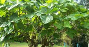 cây vả