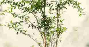 cây lựu trái
