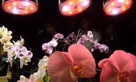 Trồng hoa lan dưới ánh đèn LED