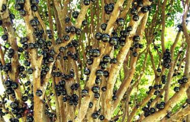 Những quả mọc chi chít trên thân cây Jabuticaba